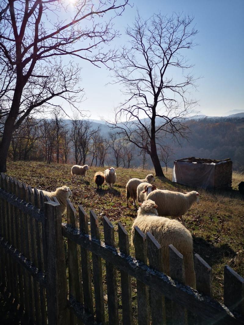 Naše ovce